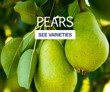 pears-catgeory-v2